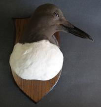 Adrian Johnstone, professional Taxidermist since 1981. Supplier to private collectors, schools, museums, businesses, and the entertainment world. Taxidermy is highly collectable. A taxidermy stuffed Guillemot Head On Shield (9777), in excellent condition.