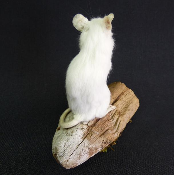 Adrian Johnstone, Professional Taxidermist since 1981. Supplier to private collectors, schools, museums, businesses and the entertainment world. Taxidermy is highly collectable. A taxidermy stuffed adult White Mouse (60), in excellent condition.