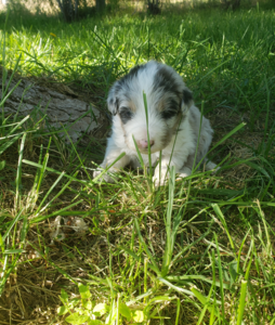 Blue merle Aussiedoodle puppy Northwestaussiedoodles.com