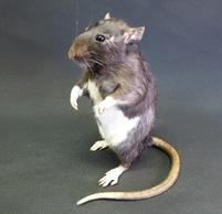 Adrian Johnstone, professional Taxidermist since 1981. Supplier to private collectors, schools, museums, businesses, and the entertainment world. Taxidermy is highly collectable. A taxidermy stuffed adult Rat (9), in excellent condition.