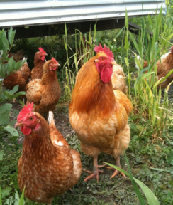 Hyline hybrid hen for sale at Chickenfeathers