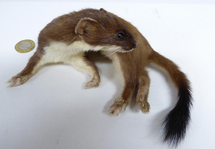 Adrian Johnstone, professional Taxidermist since 1981. Supplier to private collectors, schools, museums, businesses, and the entertainment world. Taxidermy is highly collectable. A taxidermy stuffed Stoat (67), in excellent condition. Mobile: 07745 399515 Email: adrianjohnstone@btinternet.com