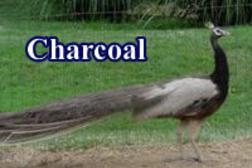 Leggs Peafowl Farm - Peacocks For Sale, Peafowl For Sale