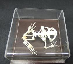 Adrian Johnstone, professional Taxidermist since 1981. Supplier to private collectors, schools, museums, businesses, and the entertainment world. Taxidermy is highly collectible. A taxidermy stuffed Asian Toad Skeleton, in excellent condition.