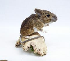 Adrian Johnstone, professional Taxidermist since 1981. Supplier to private collectors, schools, museums, businesses, and the entertainment world. Taxidermy is highly collectible. A taxidermy stuffed Field Mouse (701), in excellent condition. Mobile: 07745 399515 Email: adrianjohnstone@btinternet.com