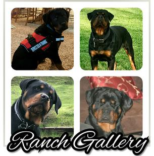 Home Scottys Califnornia Rottweiler Ranch
