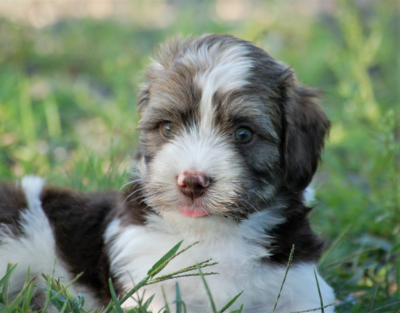 Akc Chocolate Puppies For Sale in Maine, Toy Dog - Maine