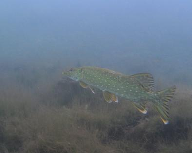 Baltic Sea Pike