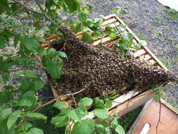 Removal-of-bee-swarms-in-France