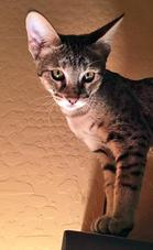 Savannah Kittens For Sale - Timothy Jewart