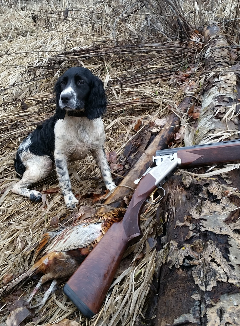 Dayridge Canine Facility Field Bred English Springer Spaniels
