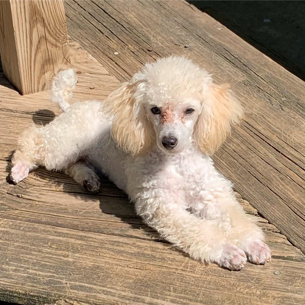 Chipoo designer pups, Chihuahua blue's long coat, black/white