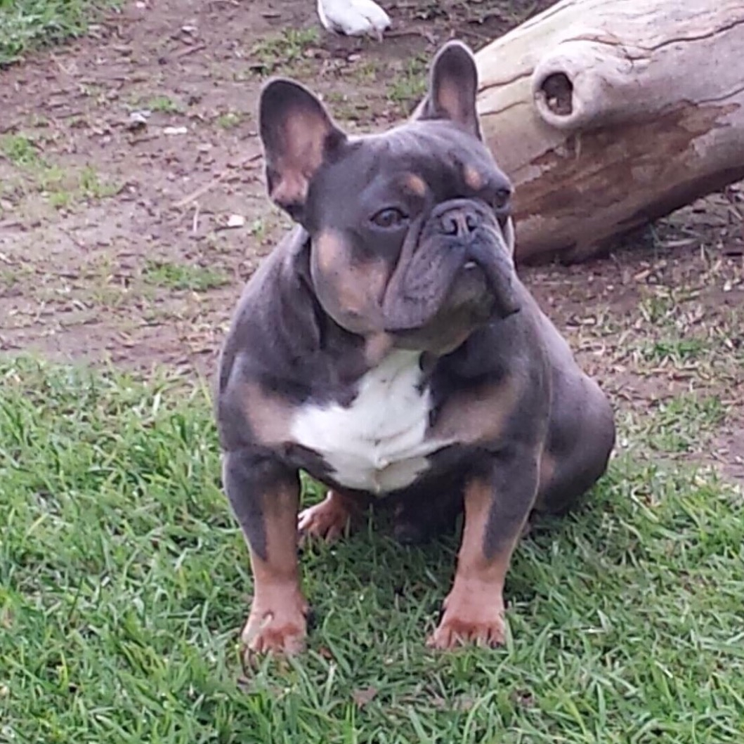 Stud Service | French Bulldogs NOW