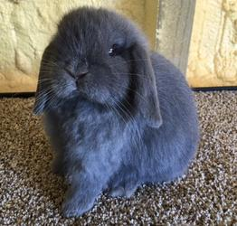 Rabbits for sale, 4h show rabbits - adsadf - Indianapolis, Indiana