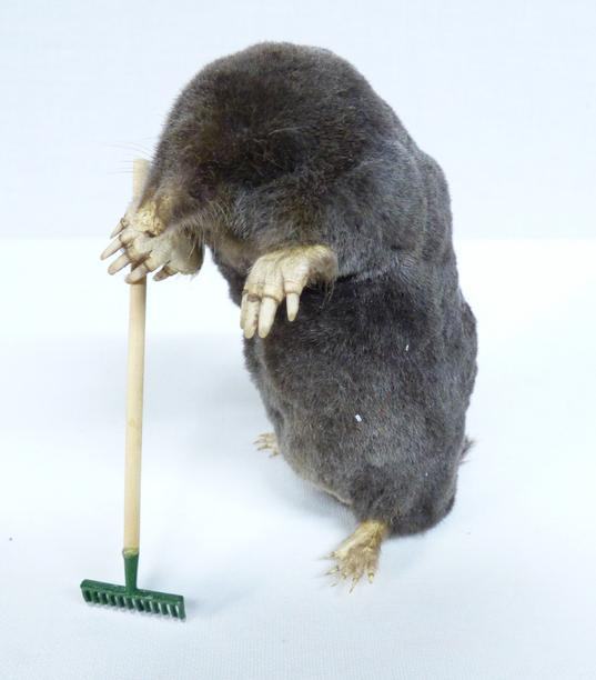 Adrian Johnstone, professional Taxidermist since 1981. Supplier to private collectors, schools, museums, businesses, and the entertainment world. Taxidermy is highly collectable. A taxidermy stuffed Gardening Mole (13), in excellent condition.