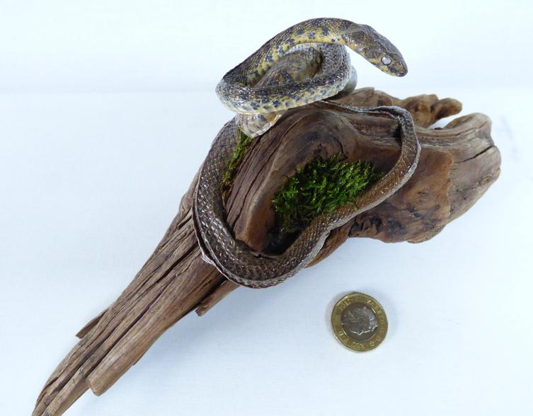 Adrian Johnstone, professional Taxidermist since 1981. Supplier to private collectors, schools, museums, businesses, and the entertainment world. Taxidermy is highly collectible. A taxidermy stuffed Python (26), in excellent condition.