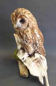 Adrian Johnstone, professional Taxidermist since 1981. Supplier to private collectors, schools, museums, businesses, and the entertainment world. Taxidermy is highly collectable. A taxidermy stuffed Tawny Owl (9669), in excellent condition.