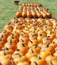 Photo of Jack O Lantern Pumpkins in Rows