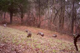 Kentucky turkey hunting