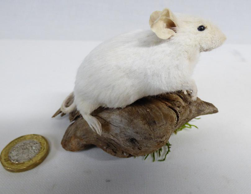 Adrian Johnstone, Professional Taxidermist since 1981. Supplier to private collectors, schools, museums, businesses and the entertainment world. Taxidermy is highly collectible. A taxidermy stuffed White Mouse (21), in excellent condition.