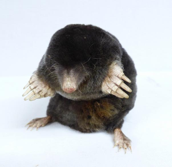 Adrian Johnstone, professional Taxidermist since 1981. Supplier to private collectors, schools, museums, businesses, and the entertainment world. Taxidermy is highly collectable. A taxidermy Sitting Mole (17), in excellent condition.