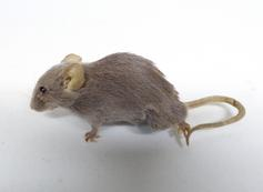 Adrian Johnstone, professional Taxidermist since 1981. Supplier to private collectors, schools, museums, businesses, and the entertainment world. Taxidermy is highly collectable. A taxidermy stuffed Grey Mouse (681), in excellent condition. Mobile: 07745 399515 Email: adrianjohnstone@btinternet.com