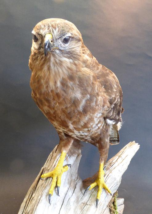 Adrian Johnstone, professional Taxidermist since 1981. Supplier to private collectors, schools, museums, businesses, and the entertainment world. Taxidermy is highly collectable. A taxidermy stuffed Common Buzzard (9434) in excellent condition.