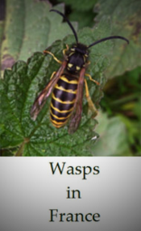 Wasps-in-France-biology-species-and-life-cycle