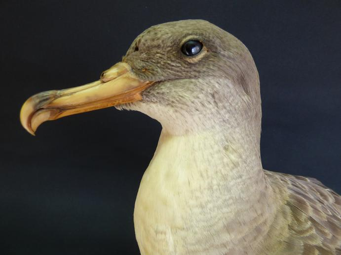 Adrian Johnstone, professional Taxidermist since 1981. Supplier to private collectors, schools, museums, businesses, and the entertainment world. Taxidermy is highly collectable. A taxidermy stuffed Cory's Shearwater (9474), in excellent condition.