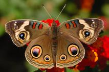 Buckeye Butterfly, Tracy Harris silk artist, Silk Painter, Butterfly paintings