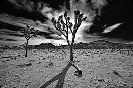 Joshua Tree with clouds_black and white