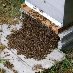 Bees-beeing-put-in-a-hive-in-France