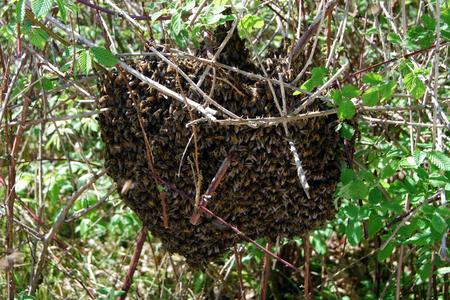 Bee-swarm-in-France