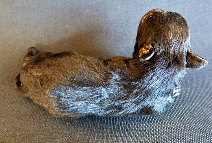Adrian Johnstone, professional Taxidermist since 1981. Supplier to private collectors, schools, museums, businesses, and the entertainment world. Taxidermy is highly collectable. A taxidermy stuffed Labrador Puppy (2), in excellent condition.