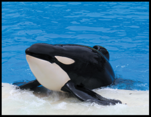 The tragic Story of Tilikum