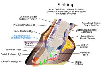 What Causes Stress Laminitis Laminitis Ir Ppid Causes And