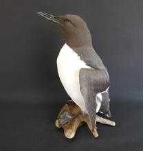 Adrian Johnstone, professional Taxidermist since 1981. Supplier to private collectors, schools, museums, businesses, and the entertainment world. Taxidermy is highly collectable. A taxidermy stuffed Guillemot (9782), in excellent condition.