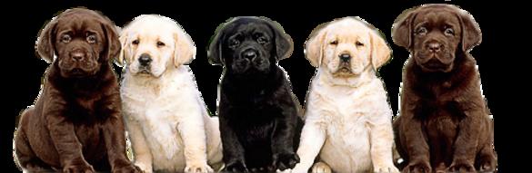 De Soleil Labradors High Quality English Style Labrador Retriever