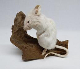Adrian Johnstone, Professional Taxidermist since 1981. Supplier to private collectors, schools, museums, businesses and the entertainment world. Taxidermy is highly collectable. A taxidermy stuffed adult White Mouse (127), in excellent condition.