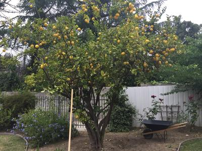 lemon trees deliver a great return on investment