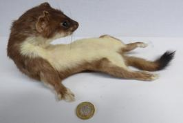 Adrian Johnstone, Professional Taxidermist since 1981. Supplier to private collectors, schools, museums, businesses and the entertainment world. Taxidermy is highly collectible. A taxidermy stuffed Stoat (16), in excellent condition.