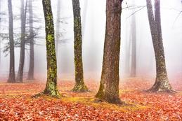 Trees with Fog_horizonta