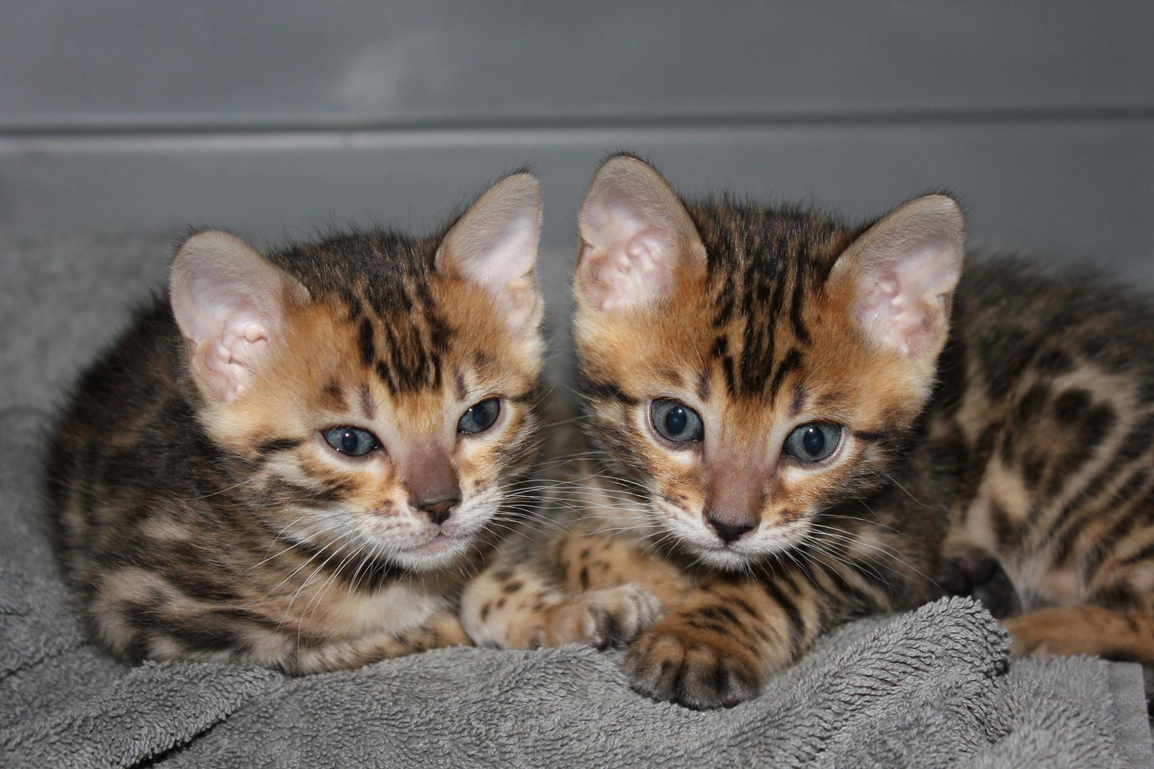 Liberty Bengals Bengal Kittens For Sale