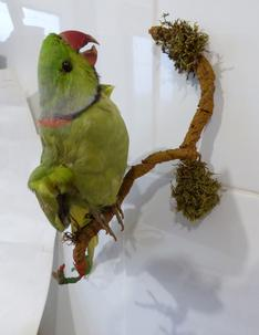 Adrian Johnstone, professional Taxidermist since 1981. Supplier to private collectors, schools, museums, businesses, and the entertainment world. Taxidermy is highly collectable. A taxidermy stuffed antique Ringed Necked Parakeet, in excellent condition.