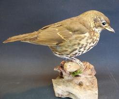 Adrian Johnstone, professional Taxidermist since 1981. Supplier to private collectors, schools, museums, businesses, and the entertainment world. Taxidermy is highly collectible. A taxidermy stuffed adult Song Thrush (9678), in excellent condition.