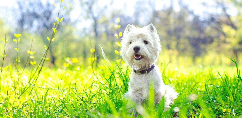 Home|San Francisco West Highland White Terrier Club| Valley Springs, CA