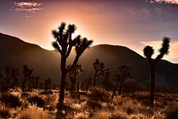 Joshua Trees with Golden Sunrise