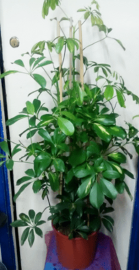 Large Umbrella Plant | Indoor plants online | House plants | The Little Flowershop