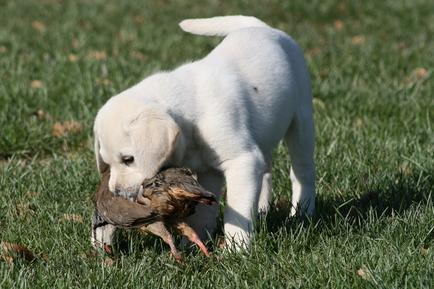 Labrador Puppies Wisconsin - Bird Crazy Gun Dogs/Labrador