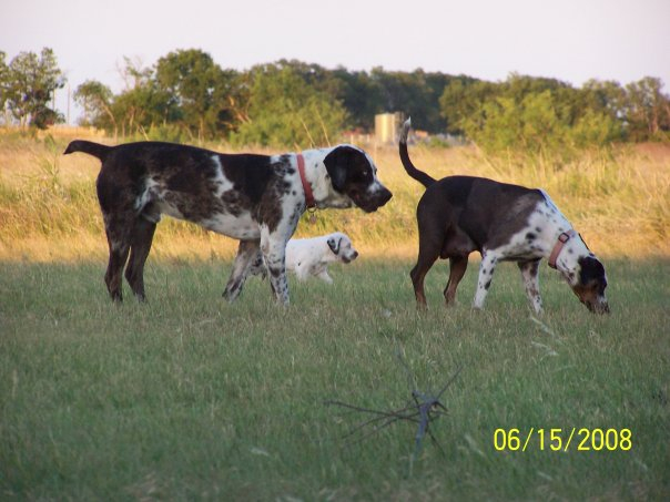 louisiana catahoula leopard dogs